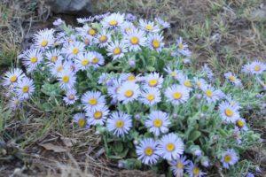 ダルマギク (達磨菊)の花の写真