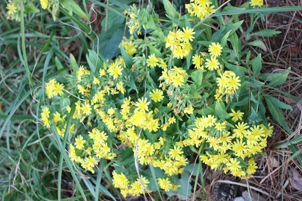 ホソバワダン(細葉海菜)の花の写真