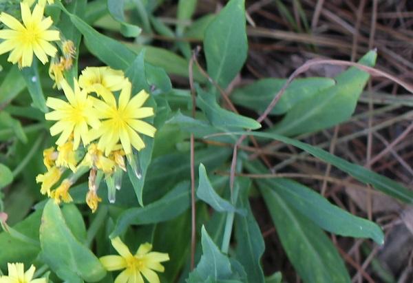 ホソバワダン(細葉海菜)の葉の様子の写真