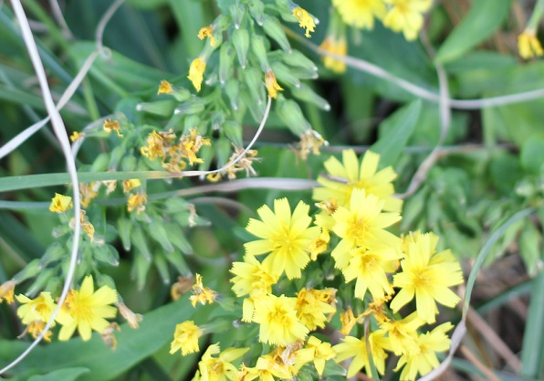 ホソバワダン(細葉海菜)の花、蕾や咲いた後の様子の写真