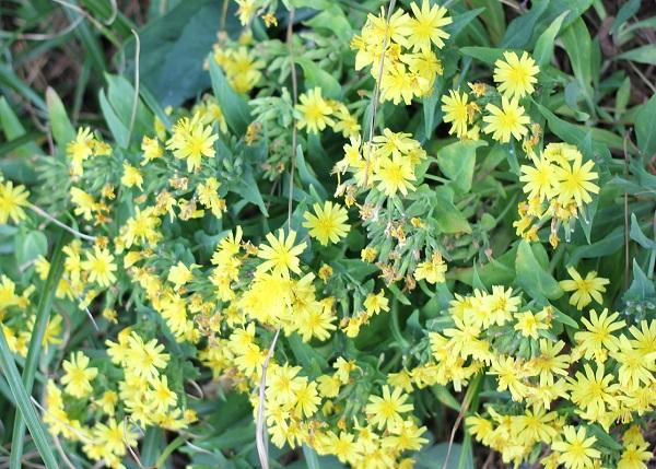 ホソバワダン(細葉海菜)、たくさん花が咲いている様子の写真
