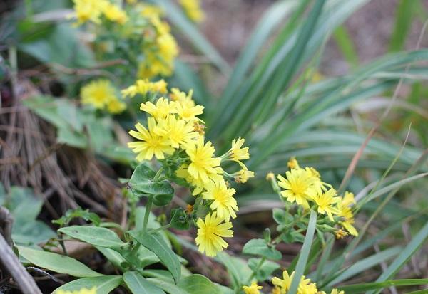 ホソバワダン(細葉海菜)の花、アップ写真