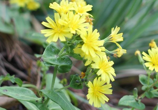 海岸に咲いていた黄色の野菊 ホソバワダン