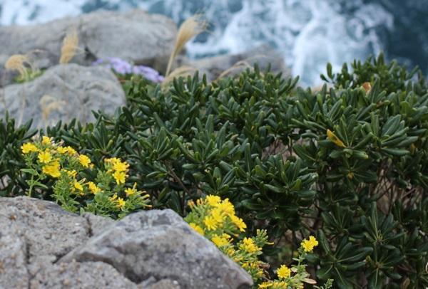 海岸の岩場に咲いてるホソバワダン(細葉海菜)の写真