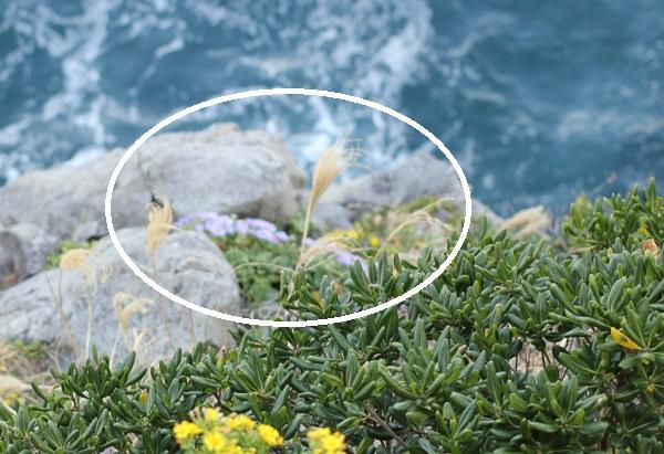 海岸の厳しい岩場で咲いてるダルマギクの写真