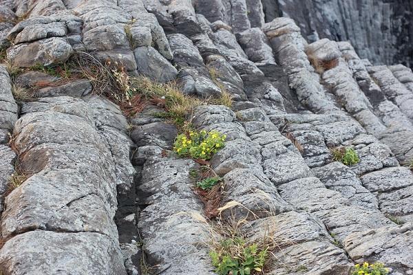 岩場に張り付いてるホソバワダン(細葉海菜)の写真