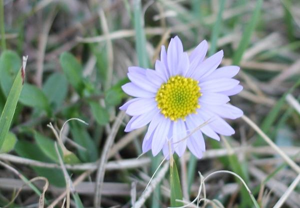 ハマベノギク(浜辺野菊)の写真