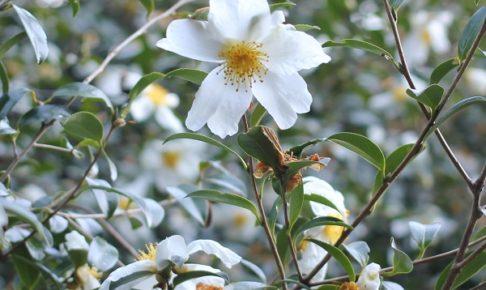 原種の山茶花(サザンカ)の写真