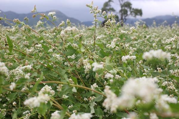 吉野ヶ里のソバ畑の写真