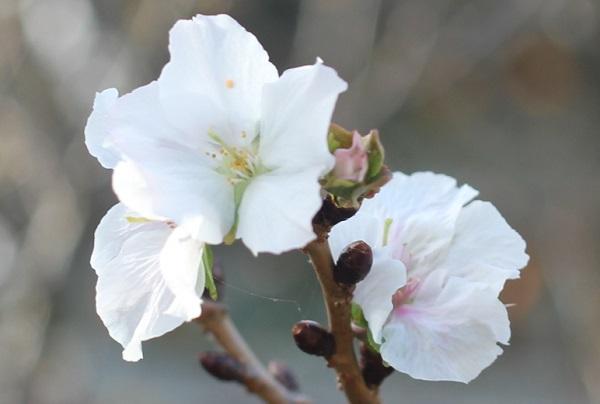 十月桜の花のアップ写真