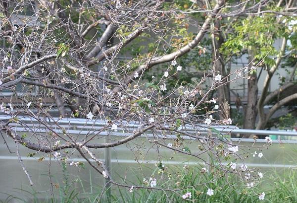十月桜が咲いている様子の写真
