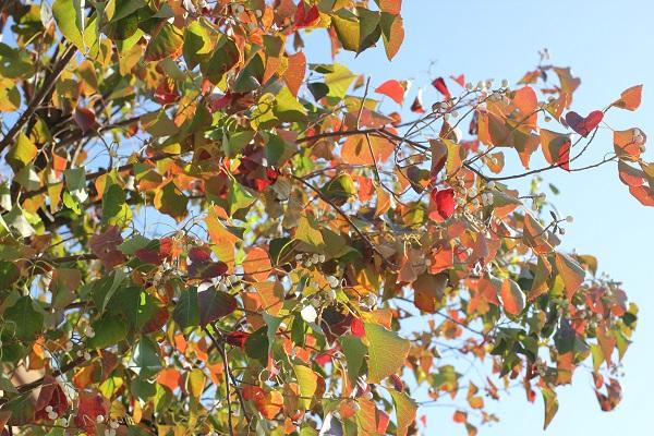 ナンキンハゼの紅葉(色とりどり)の写真