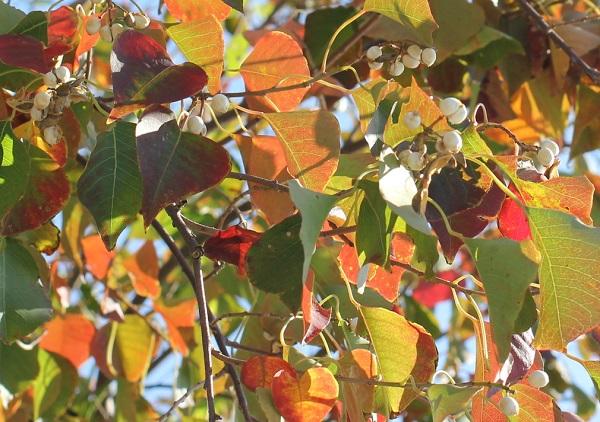 ナンキンハゼの紅葉と白い実の写真