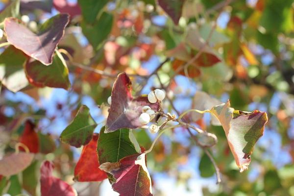 ナンキンハゼの紅葉と白い実のアップ写真