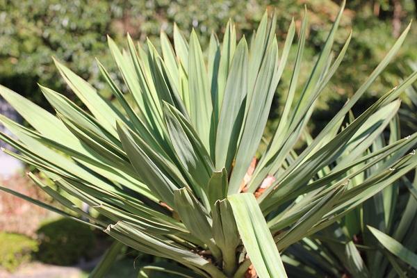 ユッカ蘭(ユッカグロリオサ・アツバキミガヨラン)の葉の写真