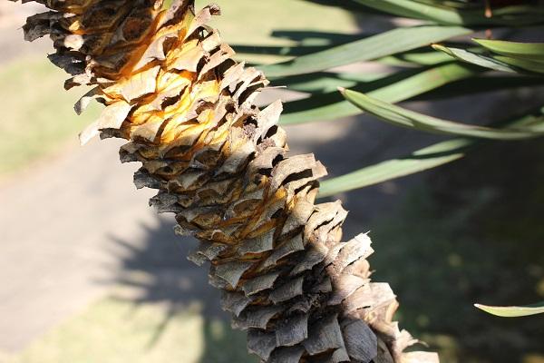 ユッカ蘭(ユッカグロリオサ・アツバキミガヨラン)の幹の写真