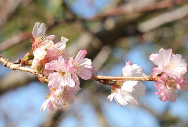 アコードの花、花びらの色がグラデーションになっている様子の写真