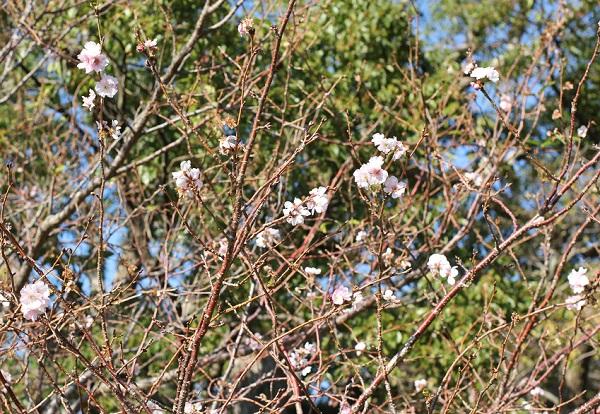 11月のはじめに咲いていたアーコレードの花の写真