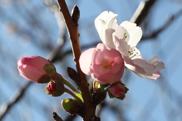 アコード、膨らんだ濃いピンクの蕾と開花した花の写真