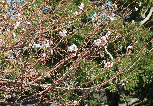 アコードの花が咲いている様子の写真