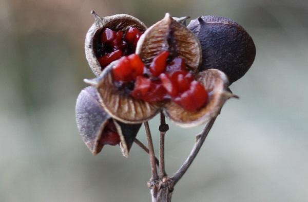 黒く熟して3つに決裂し、赤い種子が姿をだしたトベラの実の写真