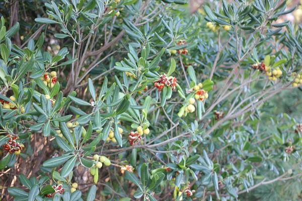 トベラの実の様子、丸い緑の実と赤い実の写真