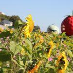 フルーツバス停フラワーゾーンに咲く冬のヒマワリとコスモス