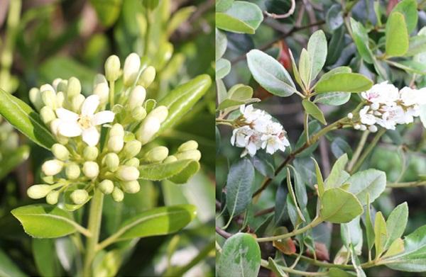 トベラとシャリンバイの比較写真