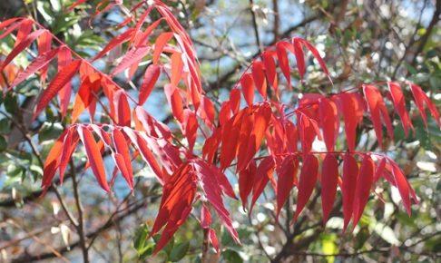 真っ赤に色づいたハゼノキの紅葉の写真