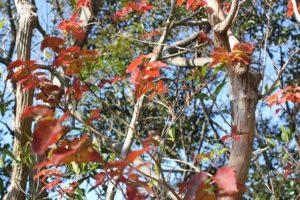 紅葉したネジキの葉の様子の写真