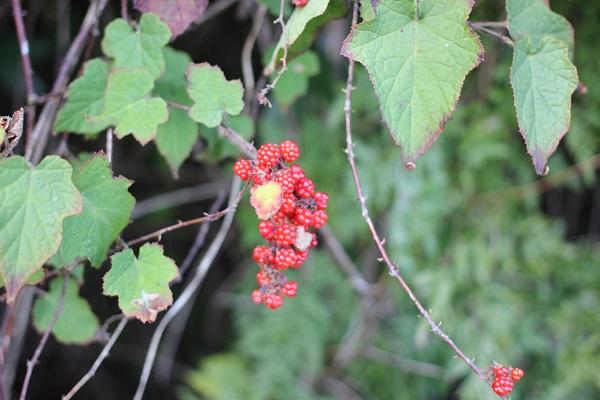 シマバライチゴ(島原苺)の実・葉・茎のトゲの様子の写真