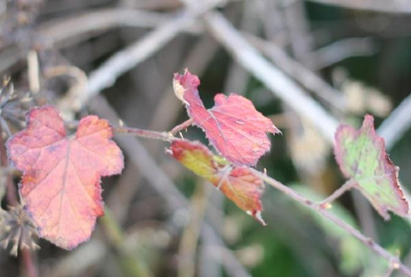 紅葉しているシマバライチゴの葉の写真