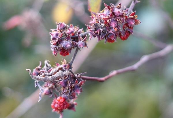 シマバライチゴの果実、終わった果実の写真