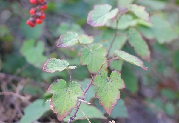 シマバライチゴの葉の写真