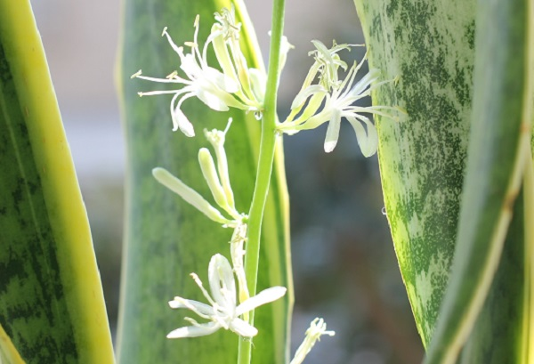サンスベリアの花の写真