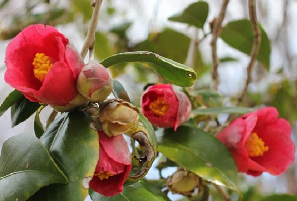 四本堂公園に咲く藪椿のアップ写真