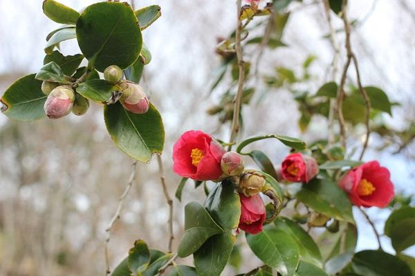 四本堂公園に咲く藪椿の写真