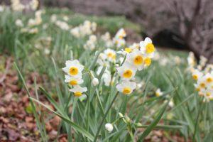 冬の四本堂公園に咲くスイセン(水仙)の写真