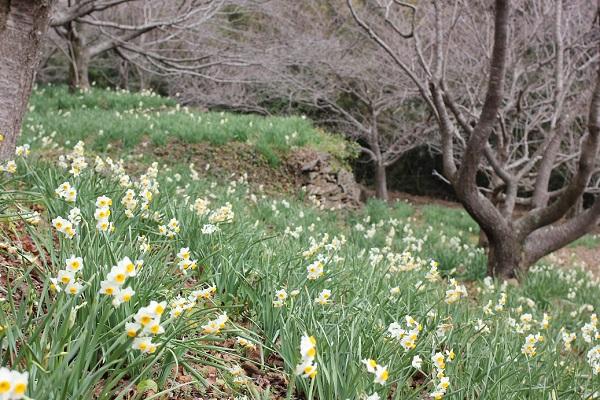 四本堂公園に咲くニホンズイセンの群生写真