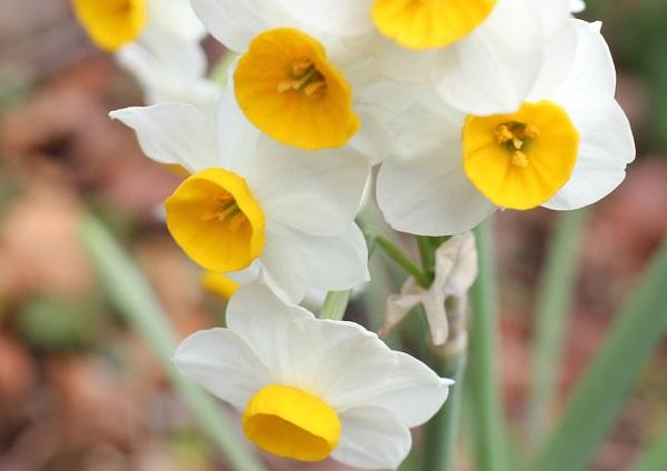 四本堂公園に咲くニホンズイセンのアップ写真