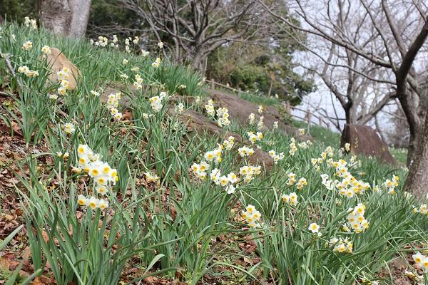 四本堂公園、展望所の下に咲くニホンズイセンの写真
