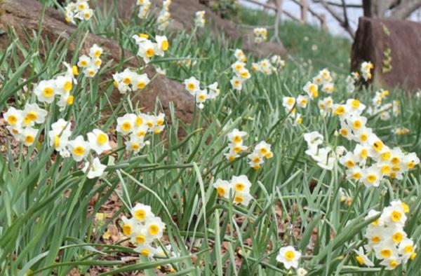 四本堂公園に咲くニホンズイセンの様子の写真