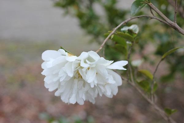 四本堂公園、白い花の写真