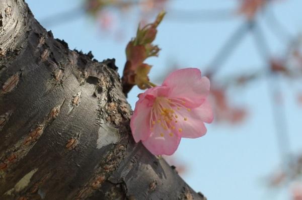 幹から一輪咲いてる河津桜の花の写真