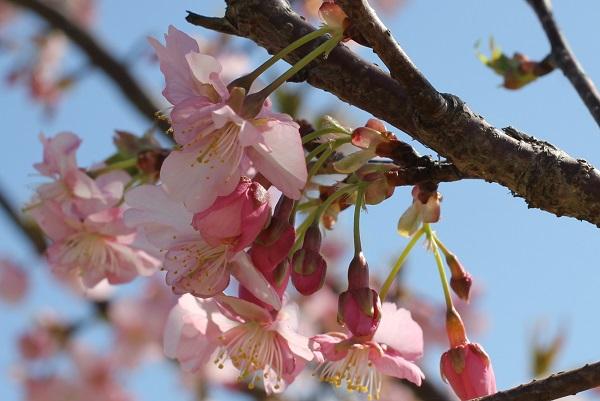 河津桜の花、アップの写真