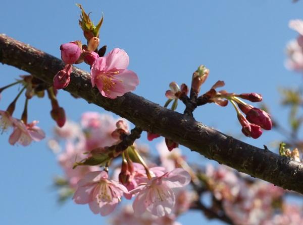 河津桜(カワヅザクラ)の花と蕾の写真