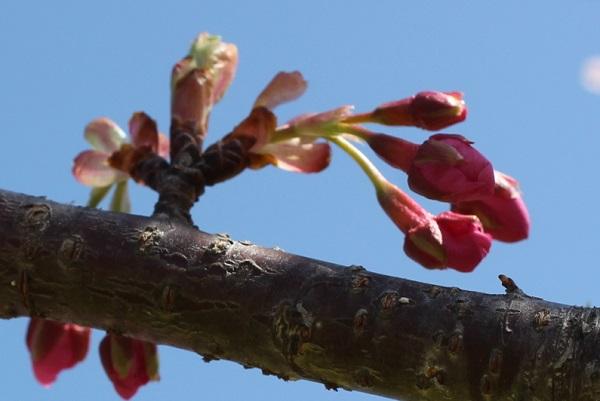 河津桜(カワヅザクラ)の蕾の写真