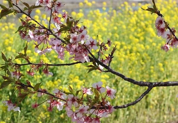 河津桜の花の終わり、散り際の写真