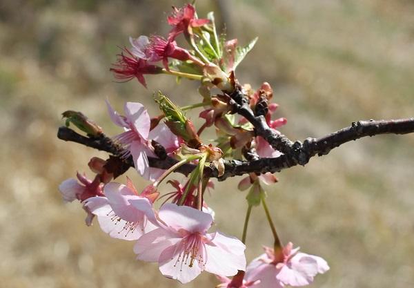 河津桜の花のアップ、咲いてる花と散った花の写真