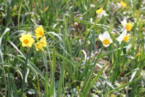 公園で咲いてたニホンズイセンとキブサキスイセンの花の写真